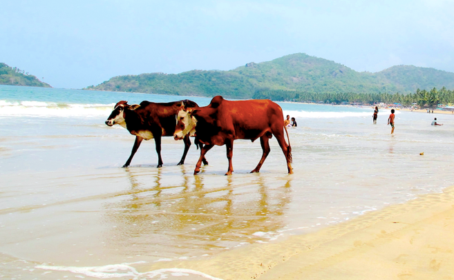 David - Goa Beach with Cows